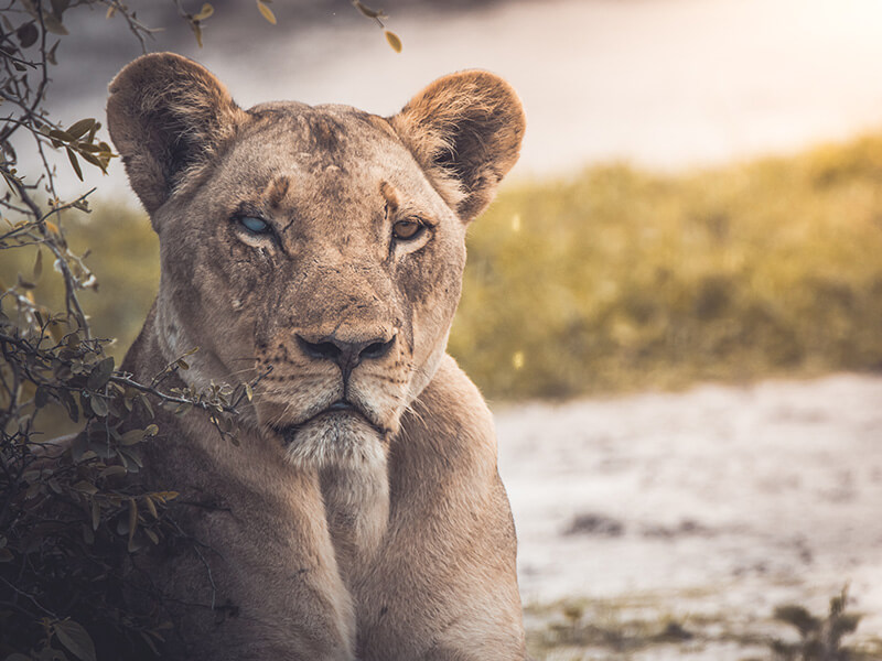 Protecting Lions Helps the Whole Food Chain? Actually, We Don't Know.
